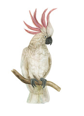 Watercolor painting cockatoo bird isolated on white