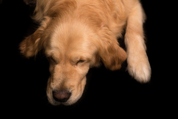Golden Retriever dog isolated on black