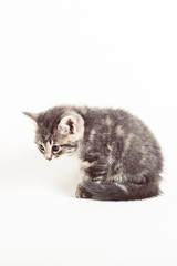 grey tabby kitten resting indoors