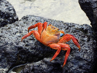 close-up of a galapagos crab at puerta ayora