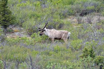 Alaska caribou on hill