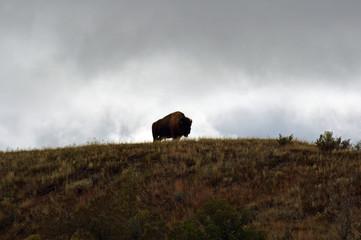 Photo sur Toile Buffalo Lone buffalo on hill