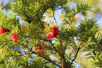 Europäische Eibe mit Samen im roten Samenmantel (rote Frucht)