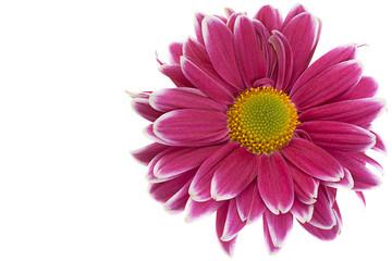 Purple chrysanthemum flower closeup