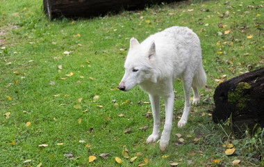 Big white wolf walking on a green grass