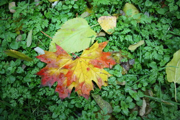 Colorful maple leaves on green grass
