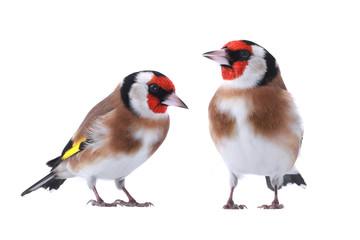 goldfinchs