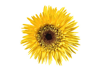 Vibrant bright yellow gerbera daisy flowers blooming isolate on white background with clipping path.