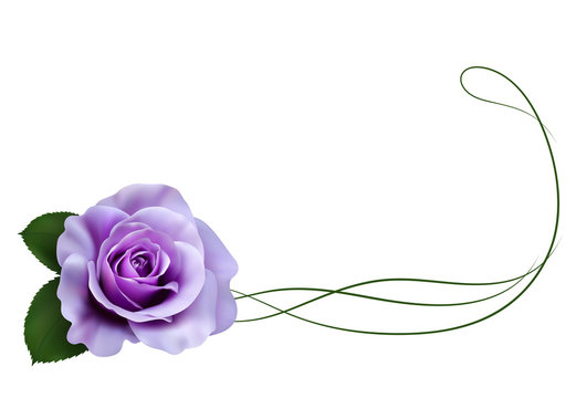 Realistic purple rose, border.