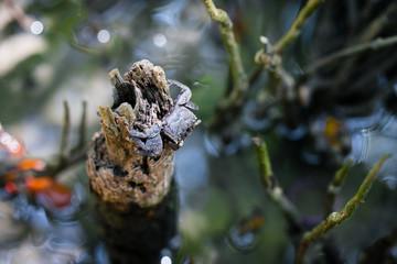 Sesarma mederi in the Mangrove forest
