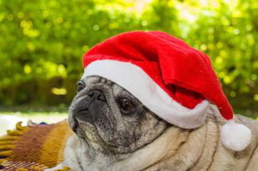 Feliz natal, cão da raça pug com touca de natal, papai noel.
