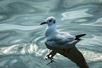 A seagull.