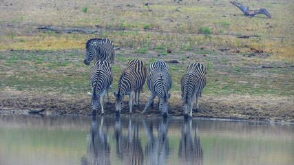 Aufnahme von Zebras trinkend an einem Wasserloch bei Tageslicht mit Wasserspiegelung fotografiert im Krüger Nationalpark in Südafrika im September 2013