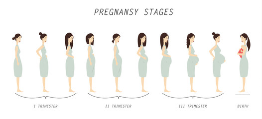 Pregnancy stages illustration.