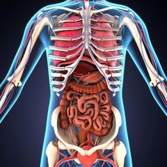 3d illustration of human body organs