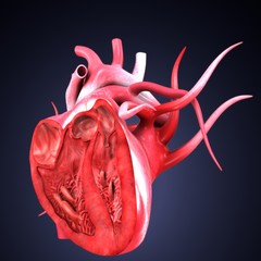 3d render of human body heart anatomy