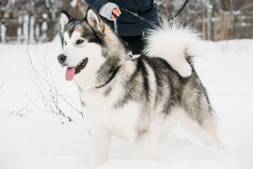 Alaskan Malamute Playing Outdoor In Snow, Winter Season. Playful