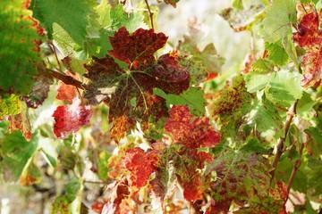 .......Wein, Weinanbau, Herbst, Frankreich