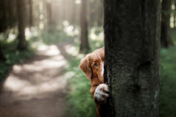 Dog Nova Scotia duck tolling Retriever hiding behind a tree