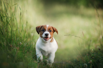 Puppy Jack Russell Terrier running on the grass
