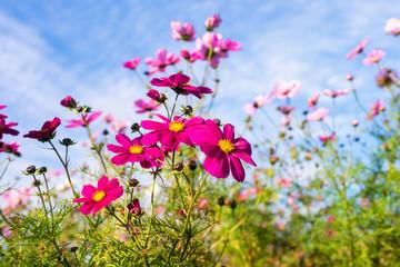 astères en fleur