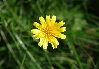 żółty kwiat na tle zieleni traw