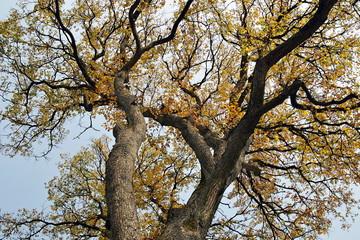 korona rozłożystego drzewa
