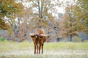 Wall Mural - Large longhorn in fall pasture, shows agriculture lifestyle on country farm.  Great background for print or graphic.