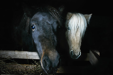 two mini horses on a black background