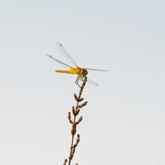 Dragonfly on the field
