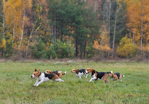 Running happy beagles