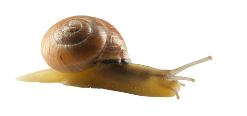 forest snail, Cepaea nemoralis on a white background