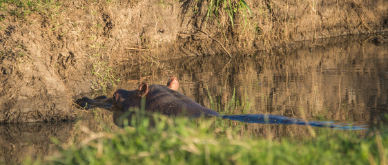 Hippos ears sticking out of  river in Masai Mara, Kenya