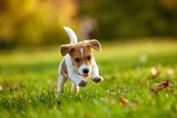 Dog breed Jack Russell Terrier playing in autumn park Wall mural