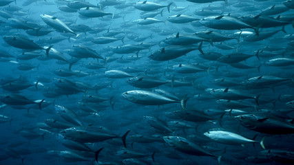 Black Skipjack School in Galapagos, the Pinnacle of Diving