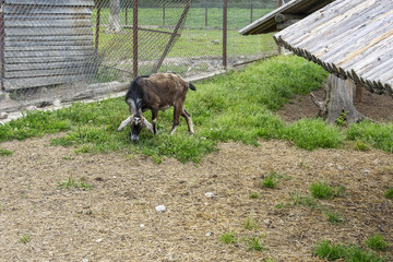 In a fenced enclosure the goat nibbles the green grass