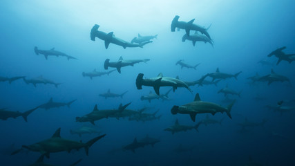 School of Hammerheads in Galapagos, the Pinnacle of Diving
