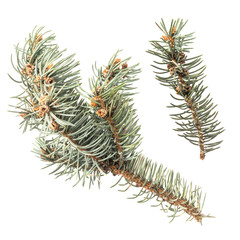 Blue Spruce Twigs Isolated
