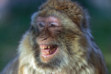 the smile of the monkey, The Barbary macaque (Macaca sylvanus)