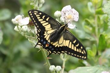Fotoväggar - Oregon Swallowtail Butterfly (Papilio oregonius)