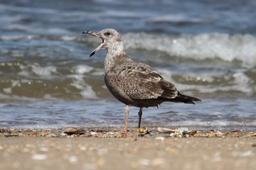 Juvenile Greater Black-backed Gull By The Ocean