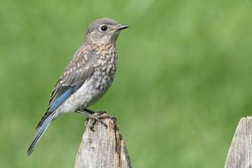 Fotoväggar - Baby Eastern Bluebird