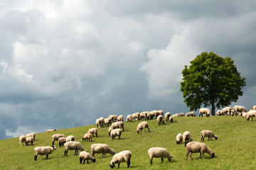 sheep pasture on the hill