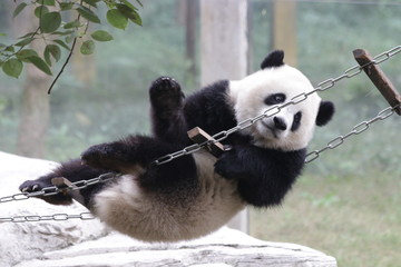 Playful Panda is having fun with the Ladder