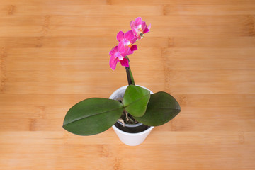 Orchid. Beautiful little pink flower. Tropical plant.