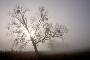 Magic tree in the fog.