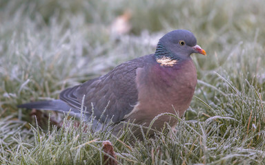 Wood pigeon foraging in frosty grass