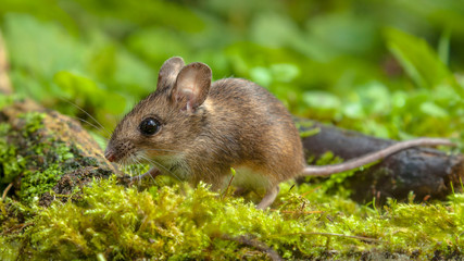 Cute Wood mouse walking on forest floor