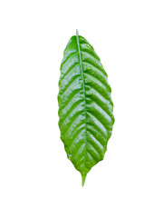 Fresh green coffee leaf on white background