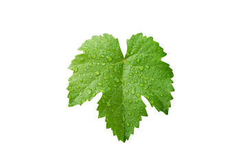 Grape leaves with dew drop isolated on white Wall mural
